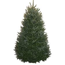 Nordmann Fir Christmas Trees Wholesale by Shop Fresh Christmas Trees At Lowes Com