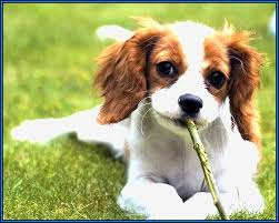 Cute Non Hypoallergenic Dogs by Small Dogs Breeds That Don U0027t Shed Dogs Pet Animals Photos