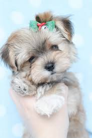 Morkies Do They Shed by Yorkshire Terrier Energetic And Affectionate Morkie Puppies