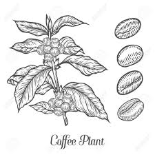 Coffee Plant Branch With Leaf Berry Bean Fruit Seed Natural