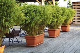 planting bamboo in a pot growing bamboo in containers how to care for bamboo in containers