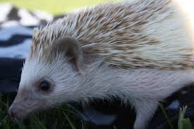 What Heat Lamp To Use For Hedgehogs by Care Valley Oasis Hedgehogsquality Hedgehogs In Oregon