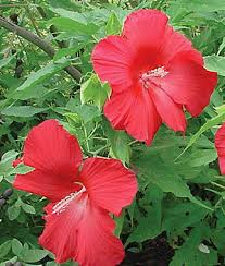 hibiscus lord baltimore seeds and plants perennnial flowerss at