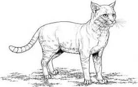 Tabby Cat Coloring Pages Realistic