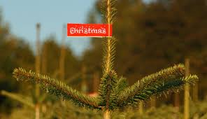 Types Christmas Trees Most Fragrant by Christmas Tree Care Tips The Old Farmer U0027s Almanac