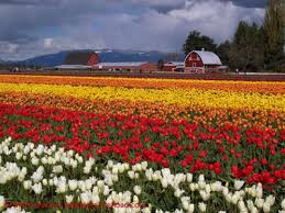 hits the road to the skagit valley tulip festival mt vernon