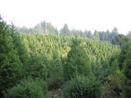 Santa Cruz County Christmas Tree Farms by Summit Christmas Tree Farm Home Facebook