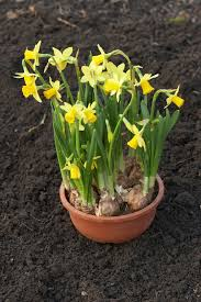 transplanting container grown daffodils how to transplant