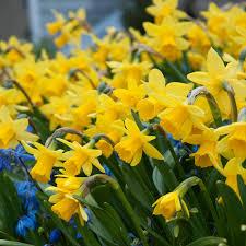 a photograph of the the flowering daffodil bulbs cultivar
