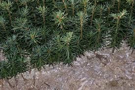 Canaan 2 0 Fir Seedlings