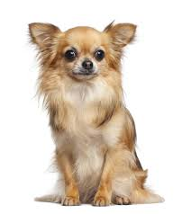 Do Long Haired Chiweenies Shed by Information About The Delicately Cute Apple Head Chihuahuas