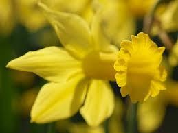 narcissus february gold cyclamineus daffodil