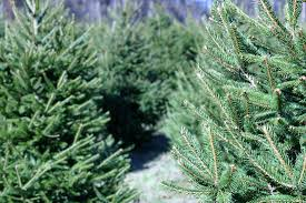 Christmas Trees Types Uk by The Story Of Pines U0026 Needles Beautiful Christmas Trees