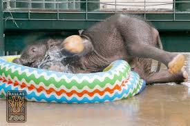 Baby Elephant Plays In A Kiddie Pool