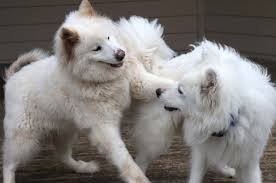 Do Samoyeds Shed All The Time by Northwest Samoyed Rescue Page 2
