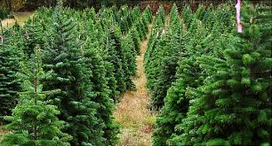 What Is The Best Christmas Tree Variety by Bugs In The Christmas Tree Shake Relax Decorate