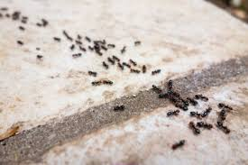 ameisen vertreiben mit hausmitteln das sind die 10 besten