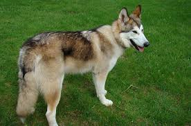 Large Low Shedding Dogs by Native American Indian Dog
