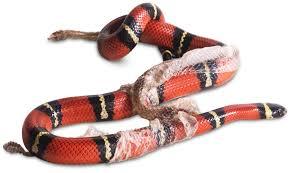 Corn Snake Shedding Too Often by Snake Shedding Skin How Snakes Shed Skin Dk Find Out