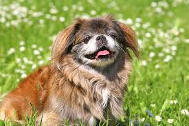 What Dog Sheds The Most by Pekingese Dog Breed Information Pictures Characteristics U0026 Facts