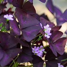 20 oxalis triangularis bulbs purple shamrocks 20