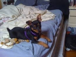 do miniature pinscher mix shed minnie breed information and pictures