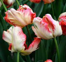 tulip apricot parrot shows shades of apricot swirl across the