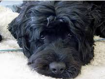 Portuguese Water Dog Non Shedding by About The Portuguese Water Dog