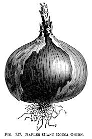 black and white clipart onion illustration printable ve able graphics vintage garden clip art