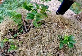 entretien du camelia en pot l arrosage du élia besoin en eau fréquence et matériel