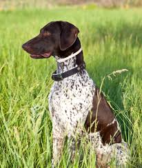 german shorthaired pointer shed german shorthaired pointer grooming bathing and care espree