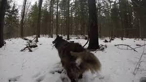Blue Heeler Mix Shedding by Shed Hunting With My Australian Shepherd Youtube