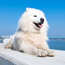 american eskimo dog breed information and facts