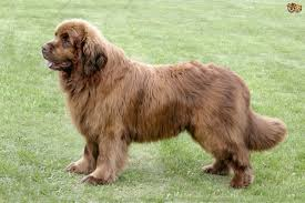 Non Shedding Large Dogs by Newfoundland Dog Breed Information Buying Advice Photos And