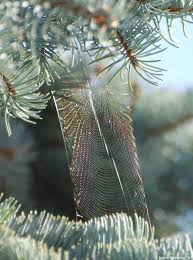 Christmas Tree Species Canada by Canadian Wildlife Federation Spruce Trees Of Canada