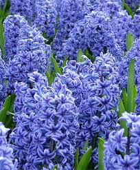 hyacinthus orientalis blue jacket hyacinthus orientalis