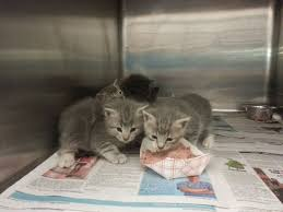 cats on deck on deck going to bat for chicago s tiniest cats