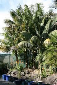 kentia palme exotisch und populär