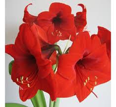 flowering bulbs buy flowering bulbs at best price on