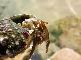 Halloween Hermit Crab Care by Reef Tank Janitors Hermit Crabs And Snails