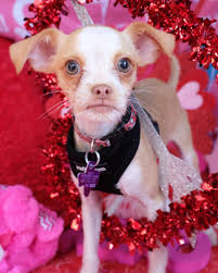 100 Where Is Chihuahua Located Our Story Texas Rescue