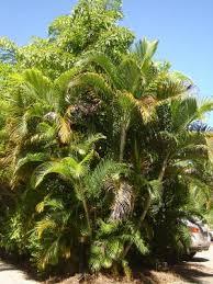 golden palm in pots golden palm dypsis lutescens lush tropical plants