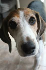 Do Treeing Walker Coonhounds Shed by My Adoreable Treeing Walker Hound Oh Pinterest Walker