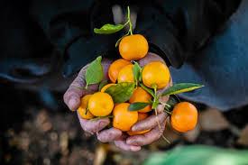Pumpkin Patch Victorville Ca by La Verne Orange Grove Open For Picking U2013 San Gabriel Valley Tribune