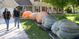 Fertilizer For Giant Pumpkins by Growers Compete For Bragging Rights With Giant Pumpkins