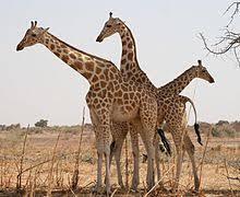 West African Giraffe Near Koure Niger