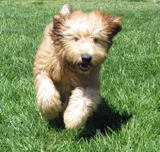 wheaten terriers have the most glorious coats and energetic