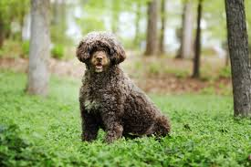 Portuguese Water Dog Non Shedding by 10 Non Shedding Dogs U0026 Best Breeds For Allergic People
