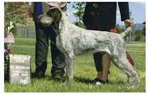 German Wirehaired Pointer Shedding by Justa German Wirehaired Pointers Grooming Your German Wirehair