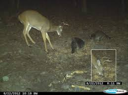 When Do Whitetails Shed Their Antlers by Bucks Shedding Velvet Early Qdma